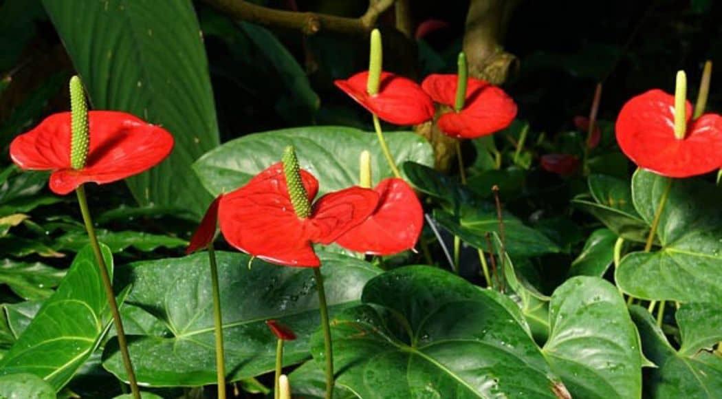 anthurium-andreanum