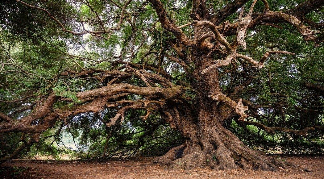 come curare l olivo