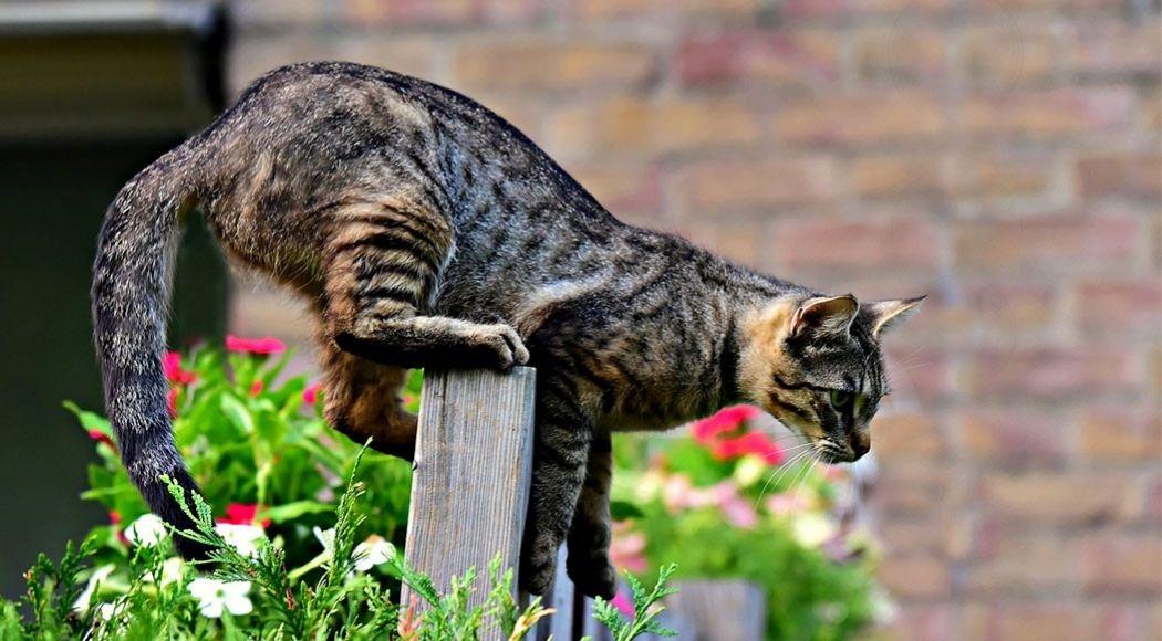 caratteristiche del gatto