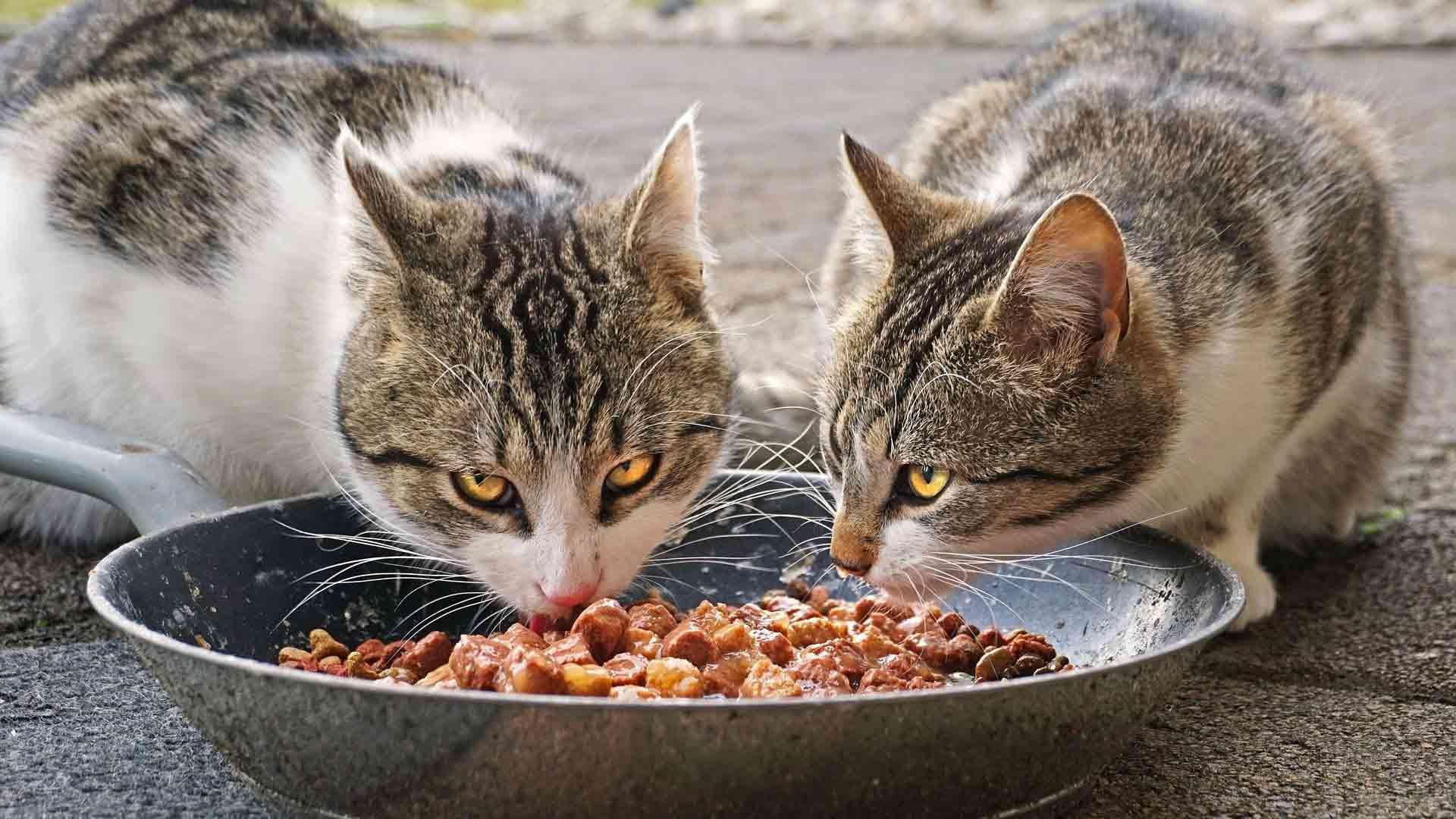 alimentazione-del-gatto-comprata-o-fatta-in-casa-6